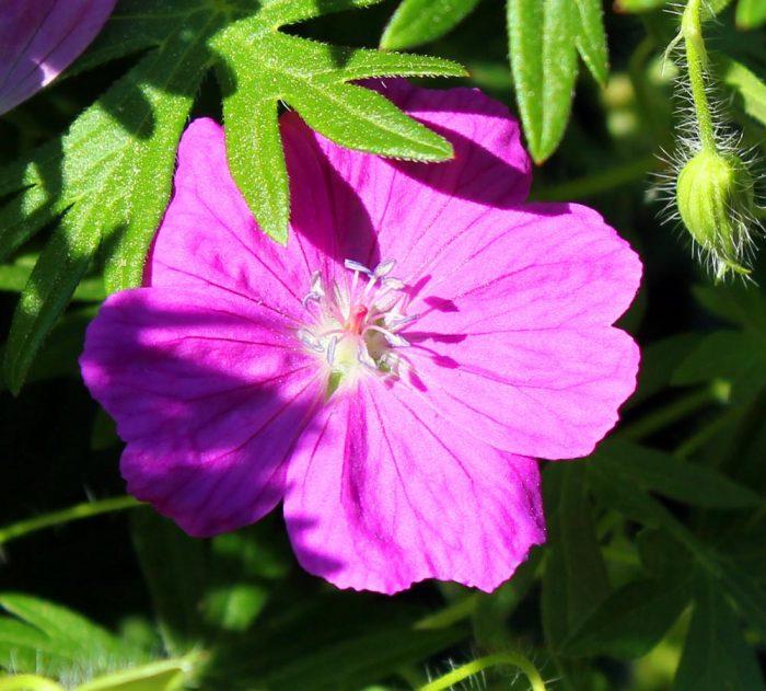 A Pink Perennial Flower