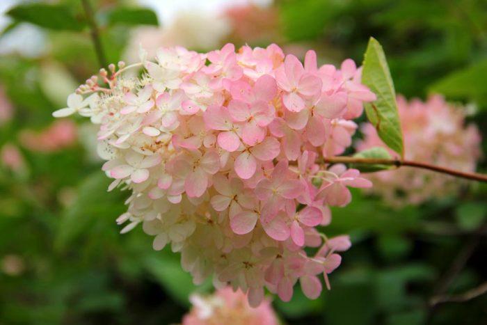 A Perennial Hydrangea Flower