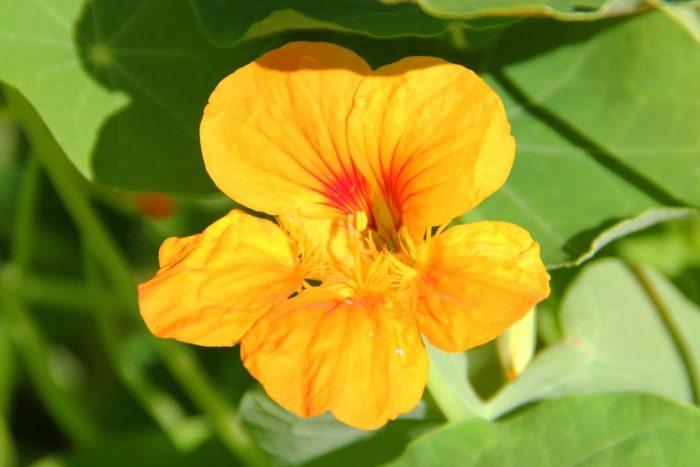 A Yellow And Orange Seasonal Nasturtium Flower Burpee.com In The Tropaeolum Genus And Tropaeolaceae Family