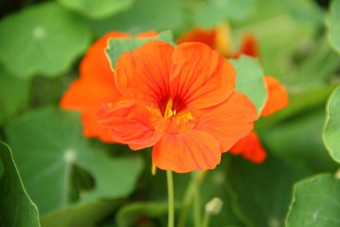 A Vibrant Orange Nasturtium Flower Burpee.com Growing During The Late Summer Season