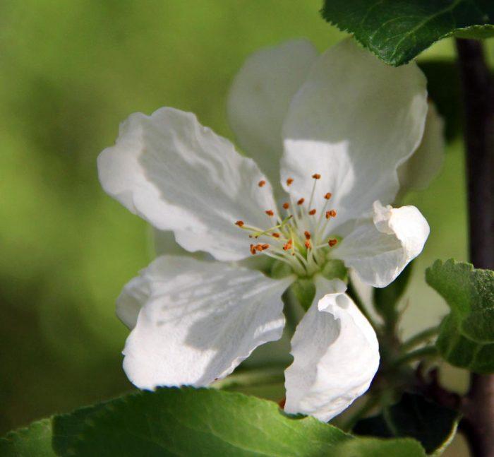 A Single White Apple Bloom