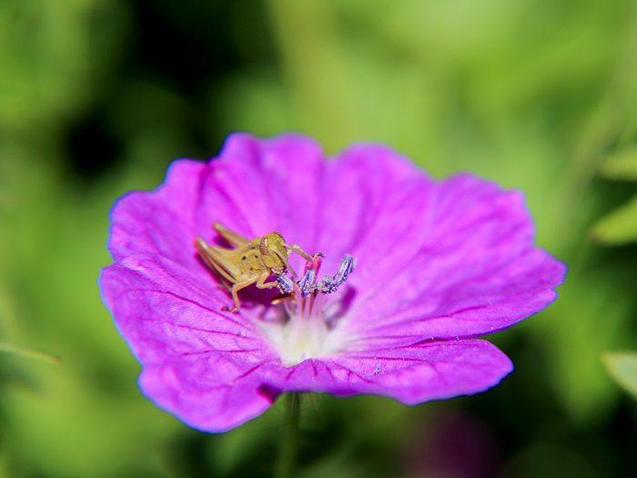 A Grasshopper Feeding On A Pink Geranium Flower In The Flower Garden