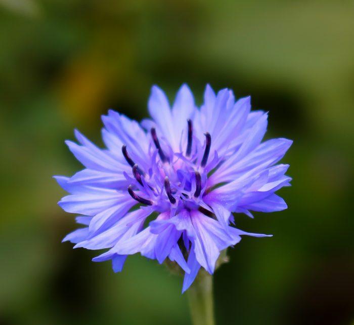 Ferry Morse Wildflower Perennial Mix A Wild Blue Cornflower Growing In Maine
