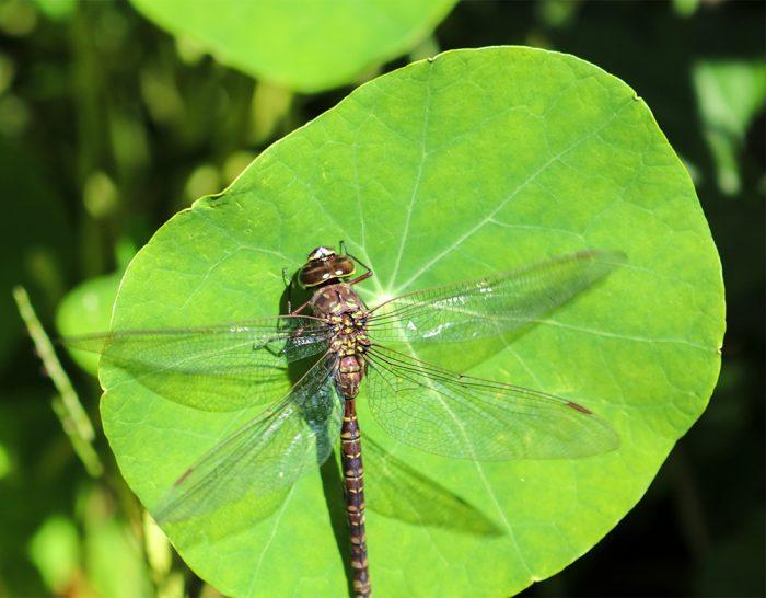 Hartseed.com A Dragonfly Sitting On A Nasturtium Leaf In Maine