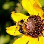 Bumblebees Visiting Autumn Black-Eyed Susan Flowering Plants