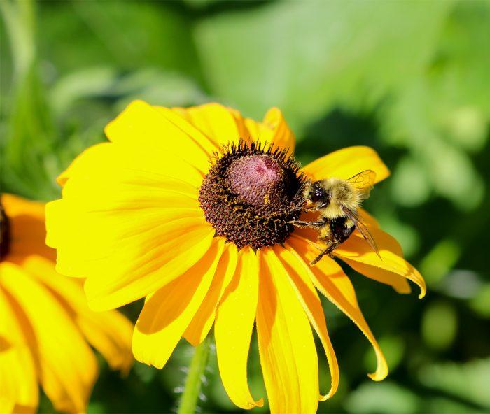 A Single Bumblebee Visiting A Black Eyed Susan