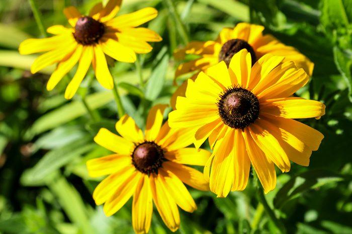 Garden Black Eyed Susans In Western Maine