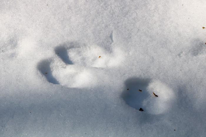 Eastern Cottontail Rabbit Sylvilagus Floridanus Tracks In The Snow