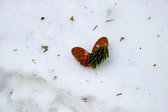 Hemlock Cones In The Snow