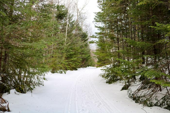Evergreens On The Poplar Hut Access Trail In Maine