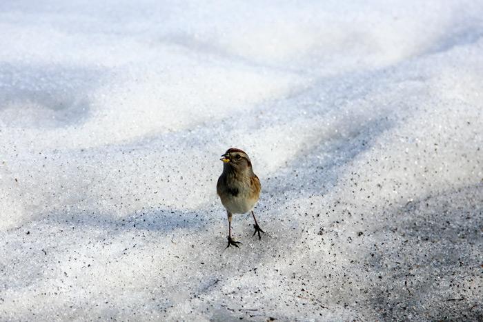An American Tree Sparrow Spizella Arborea