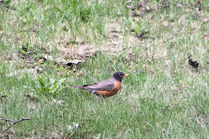 Female American Robin Turdus Migratorius