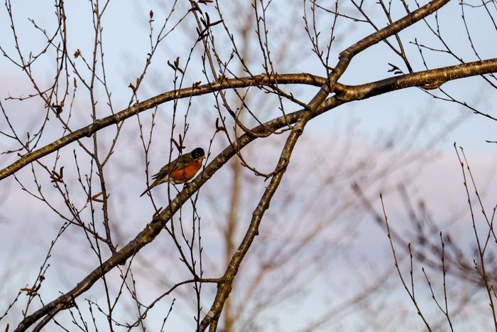 A Perched American Robin Turdus Migratorius