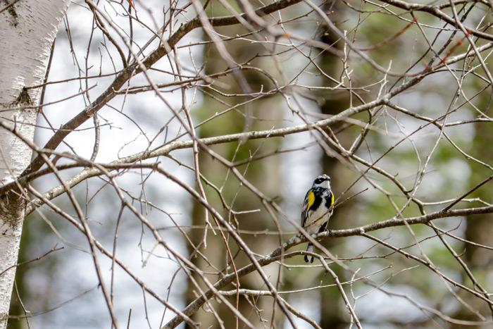 A Yellow Rumped Warbler Setophaga Oronata