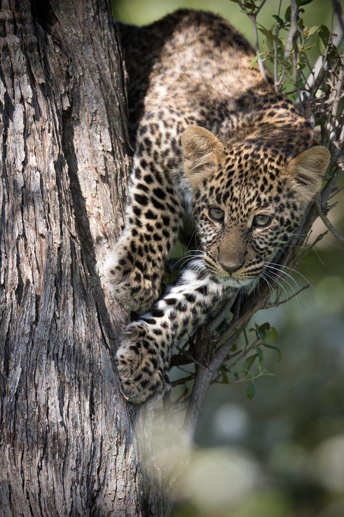 Leopard Male Cub