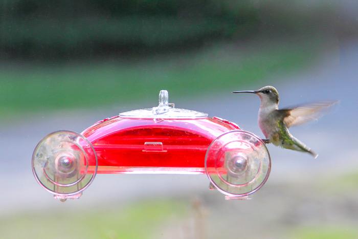 A Female Ruby Throated Hummingbird