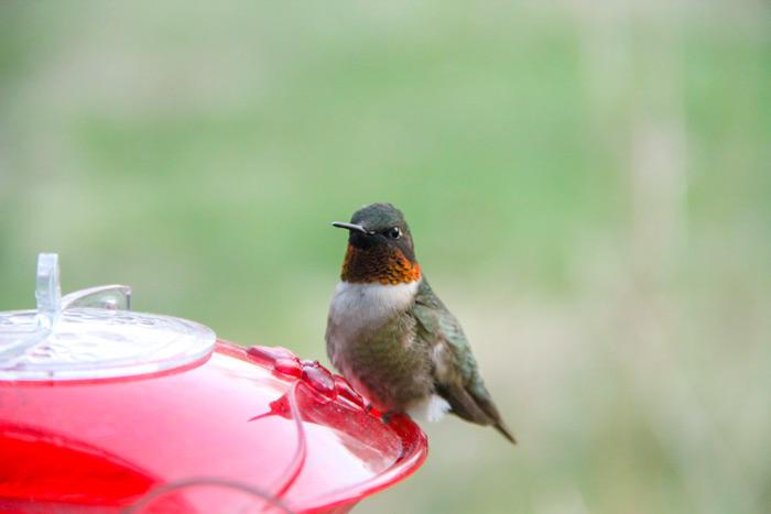 A Perching Male Ruby Throated Hummingbird