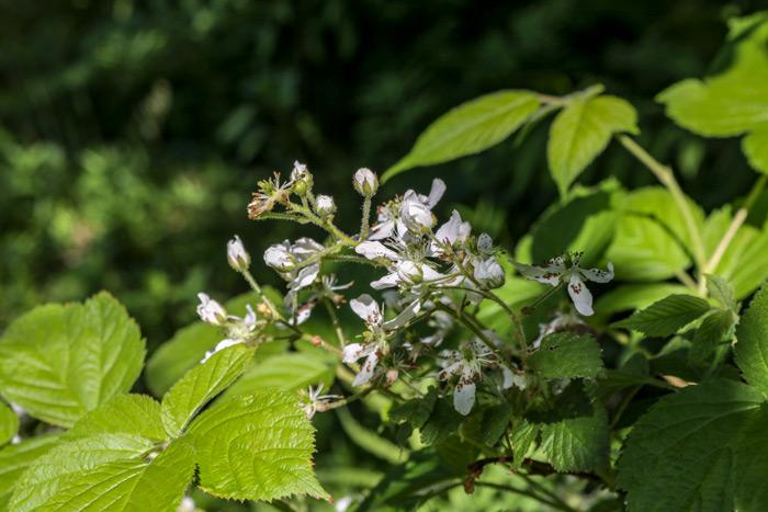 Blackberry Blooms Rubus Fruticosus