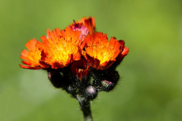 Blooming Hawkweed Pilosella Aurantiaca