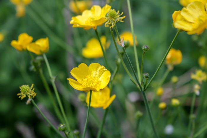 Buttercups Ranunculaceae