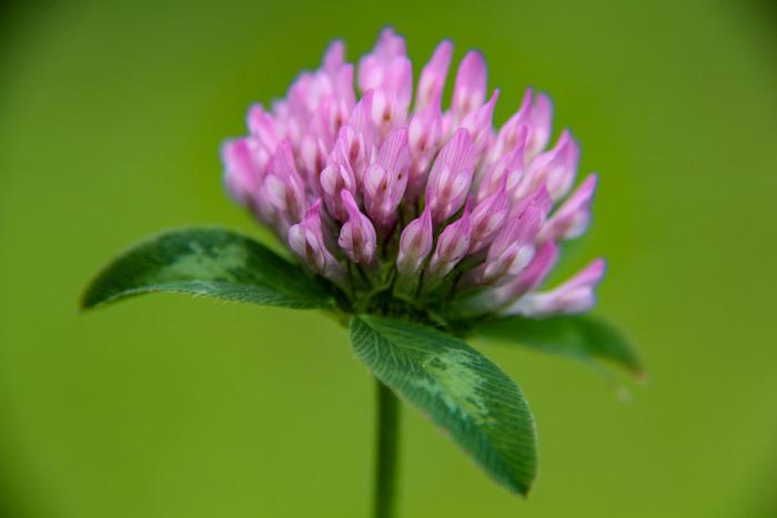 Clover Trifolium