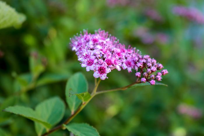 Spirea Flower Rosaceae