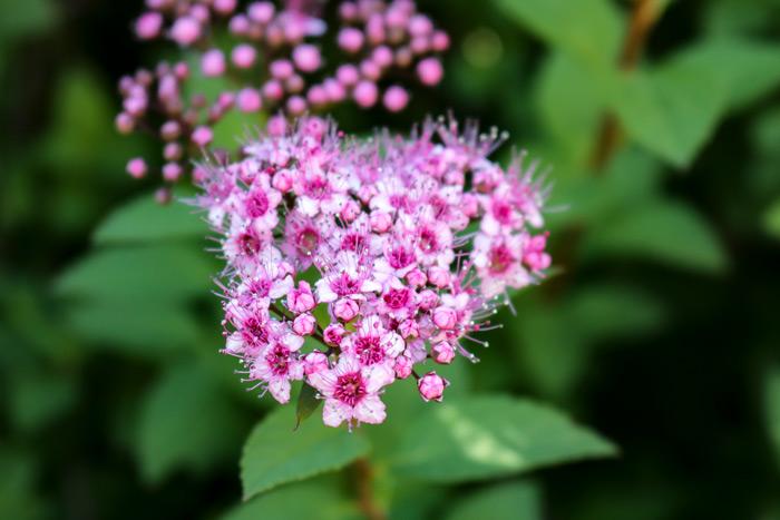 Pink Spirea Bush Rosaceae