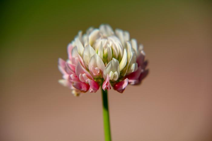 White Clover Trifolium