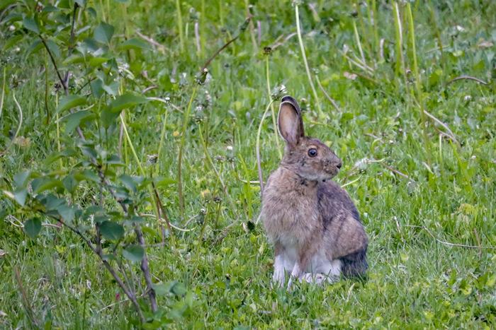 Snowshoe Hare In Dandelions