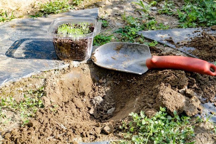 Planting Creeping Thyme