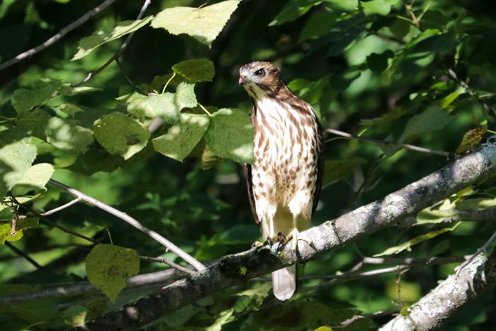 A Juvenile Broad Winged Hawk