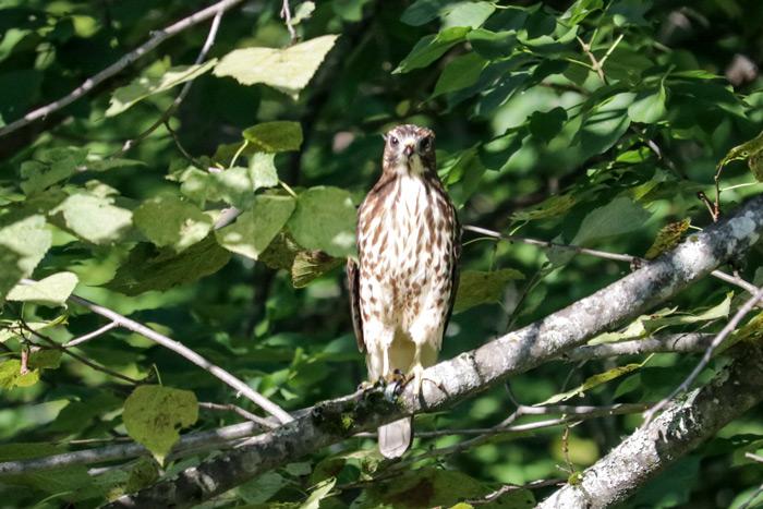 Broad Winged Hawk In Tree