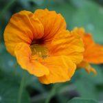 Growing Last Year's Collected & Stored Nasturtium Seeds