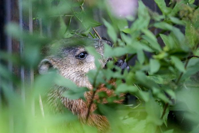 A Groundhog Eating Behind Bushes