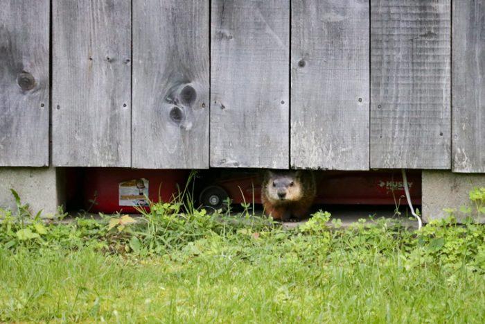 Groundhog In Garage