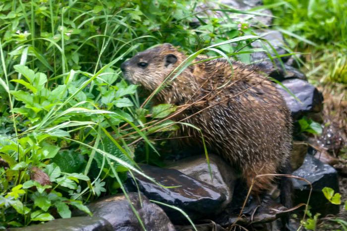 Groundhog In The Rain