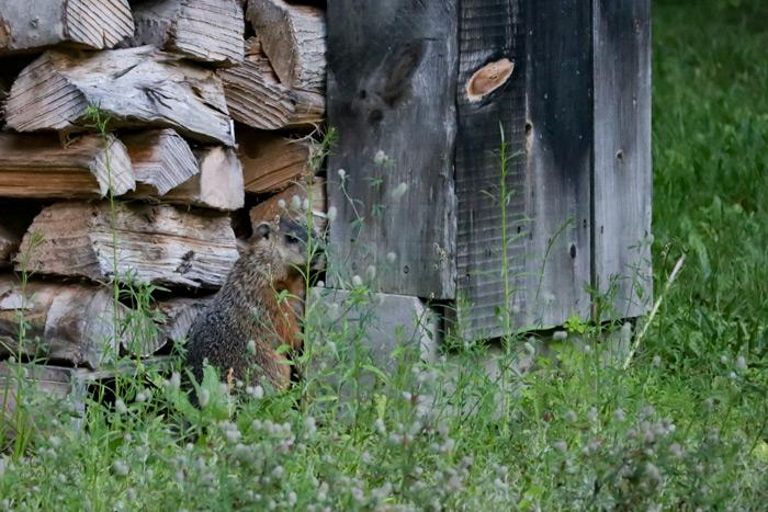 Groundhog Outside Home