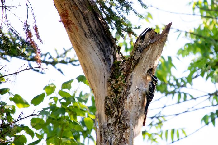Hairy Woodpecker Female Feeding Young