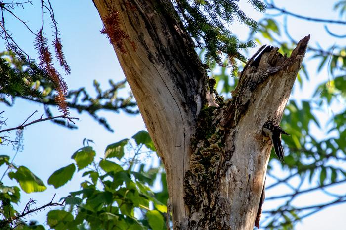 Hairy Woodpecker Mother In Nest Cavity