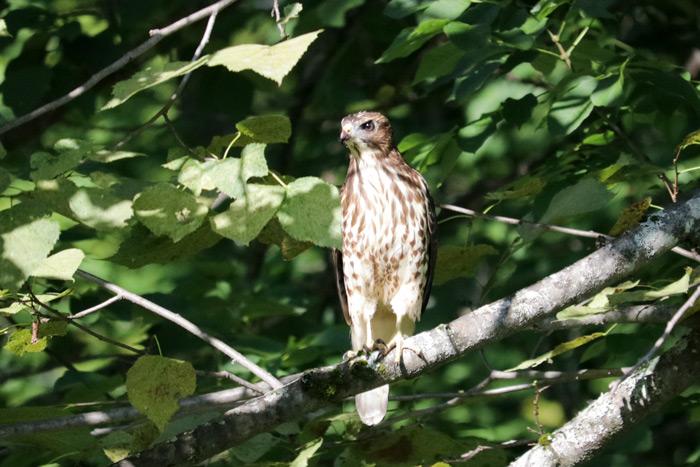 A Perching Broad Winged Hawk