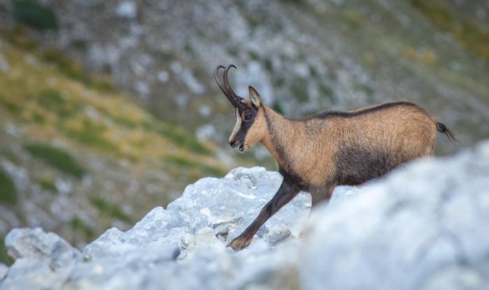 A Running Goat