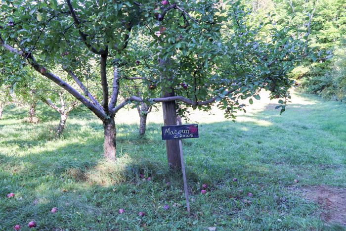 Macoun Apples
