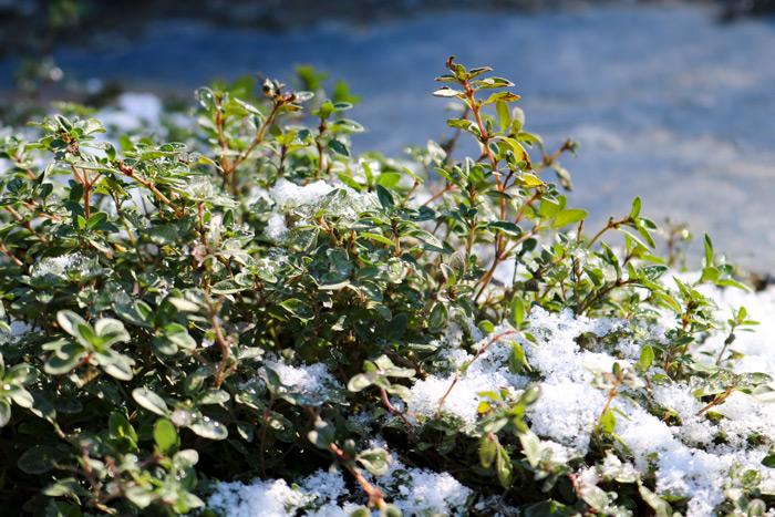 Frozen Creeping Thyme