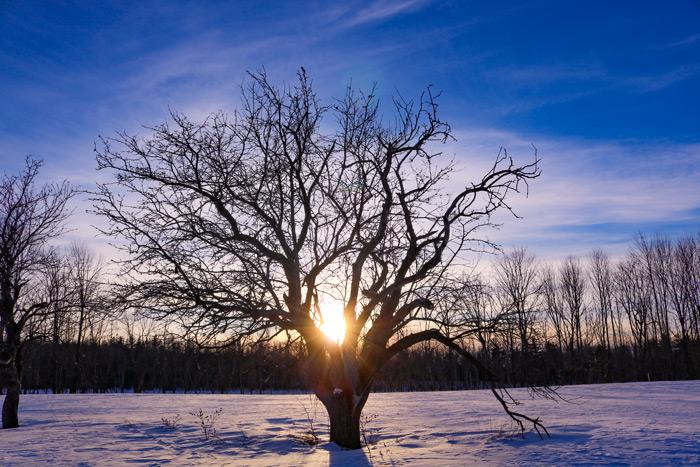Apple Tree Sun Burst