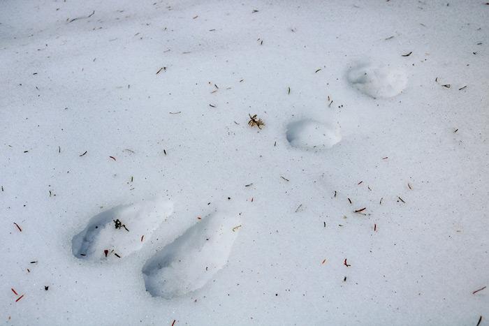 Snowshoe Hare Snow
