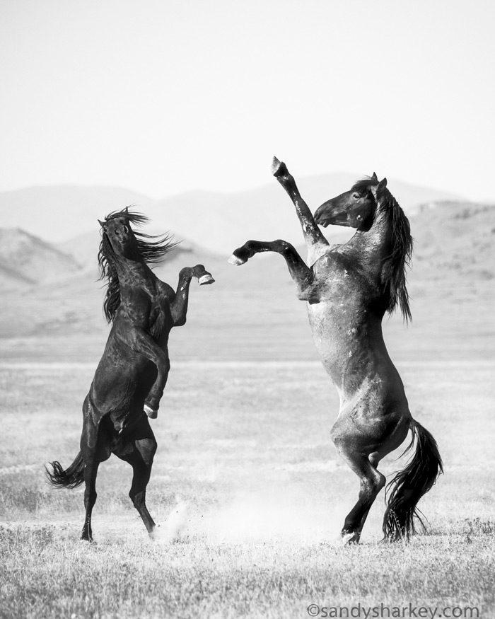 Onaqui Horses