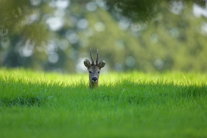 Tolerant Roe Deer