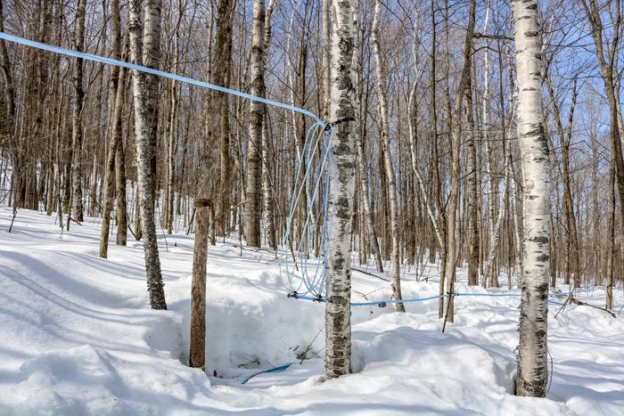 Tree Sap Lines