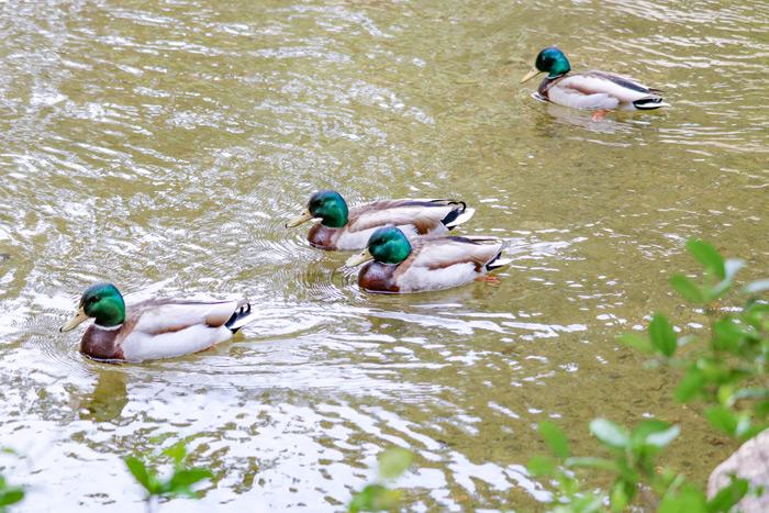 Mallards Enjoying The Pond