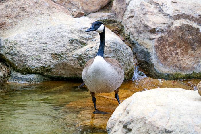 Standing Canada Goose